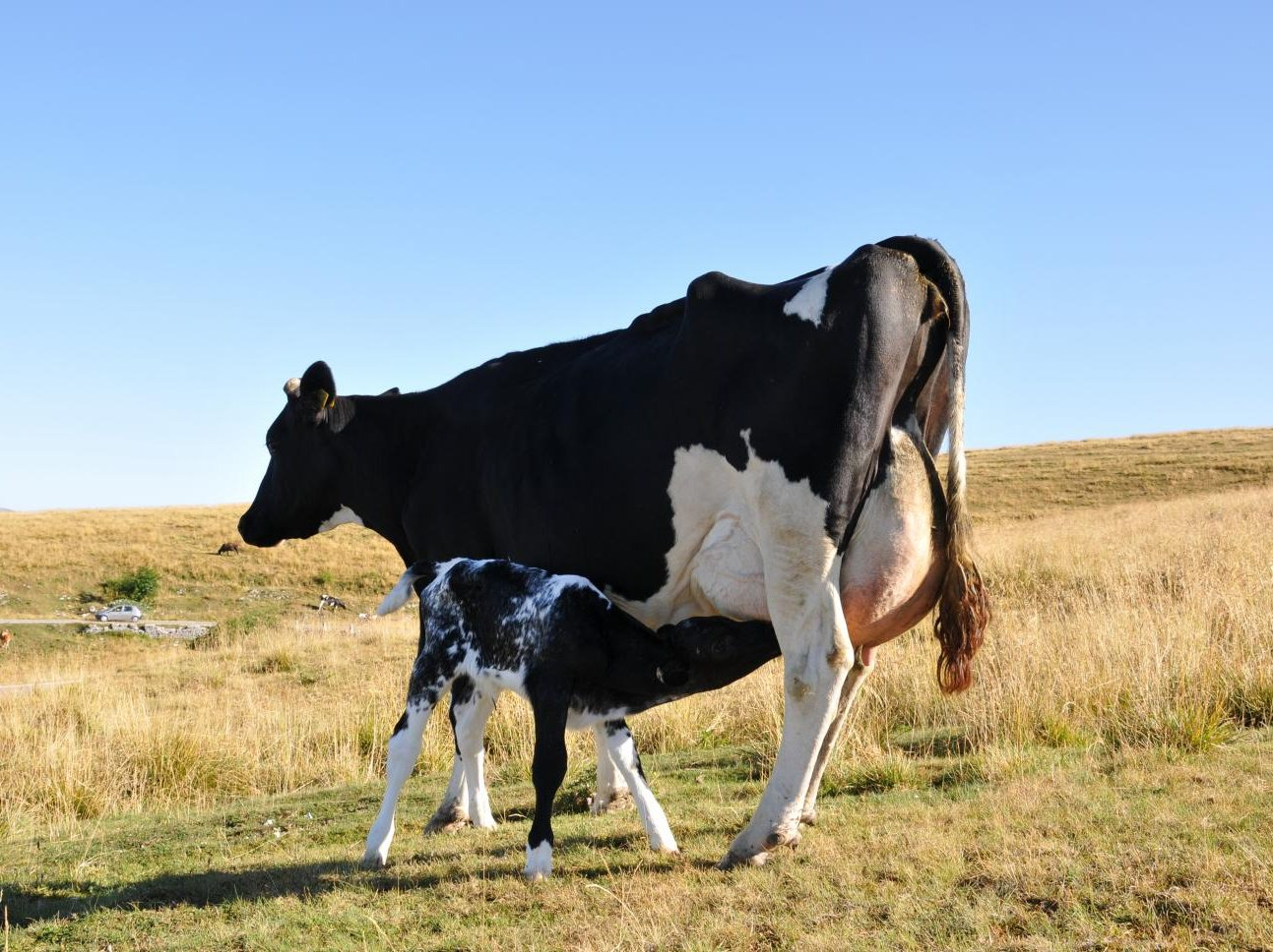 Campeggio Al Faggio - Mucche